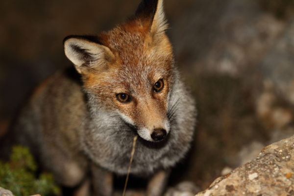 Moleon et al - Front fig a (red fox - S. Justicia)