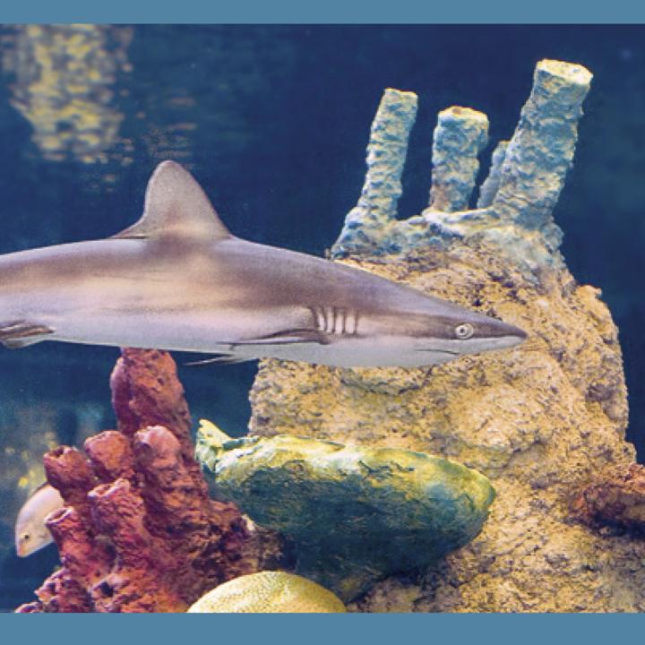 tiburones-d