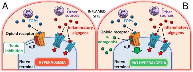 NdP 27 - Leucocitos analgésicos (1)